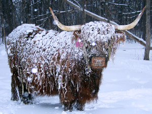 Season's Greetings from Gray Owl Farms Highland Cattle